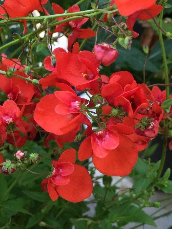 Diascia hybride à fleurs rouges, balcon, Paris