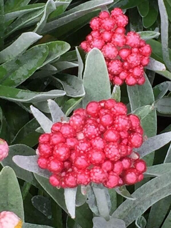 Helichrysum amorginum 'Ruby Cluster', Roué pépinières, Journées des Plantes, Chantilly (60)