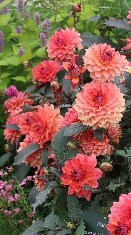 Dahlia 'Domaine de Chaumont sur Loire', Label Rouge, Astéracées, fleur, Jardin des Plantes, Paris 5e (75)