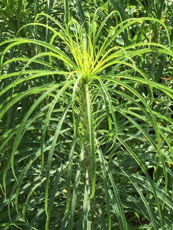 Helianthus salicifolius, Astéracées, plante vivace, Jardin des Plantes, MNHN, Paris 5e (75)