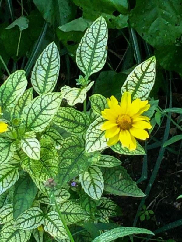 Heliopsis helianthoides 'Loraine Sunshine', plante vivace, Astéracées, Levallois (92)