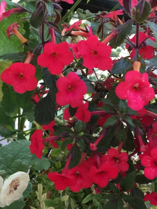 Potée fleurie d'achimènes, Gesnériacées, en été sur mon balcon parisien, Paris 19e (75)
