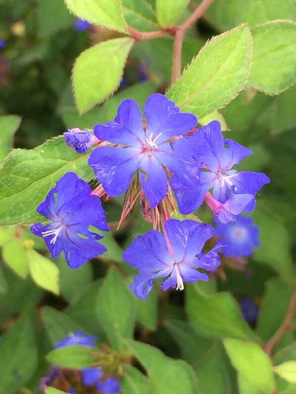 Ceratostigma plumbaginoides, fleur bleue, dentelaire, Jardin d'acclimatation, Paris 16e (75)