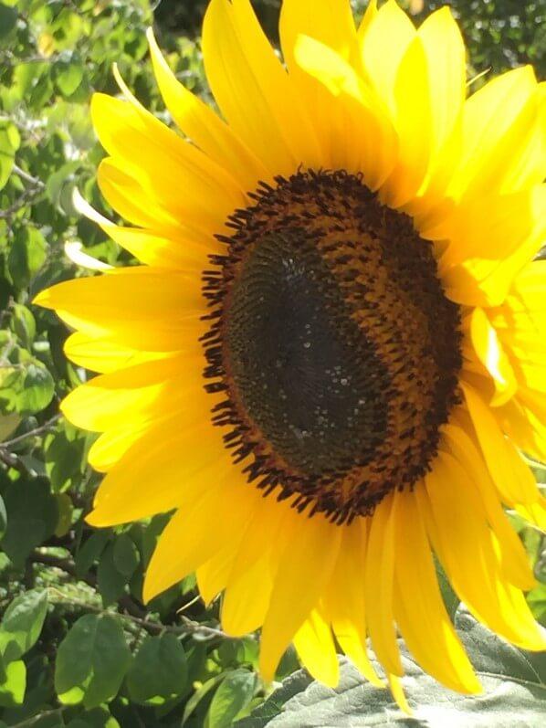 Tournesol, Helianthus annuus, fleur annuelle, soleil, été, Paris