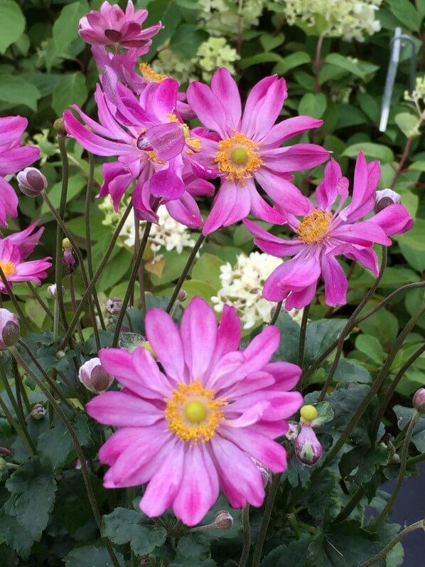 Anémone du Japon, Journées des Plantes de Chantilly, automne