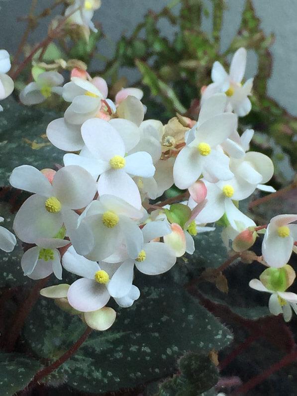Begonia U074, Bégoniacées, plante d'intérieur, terrarium, Paris 19e (75)