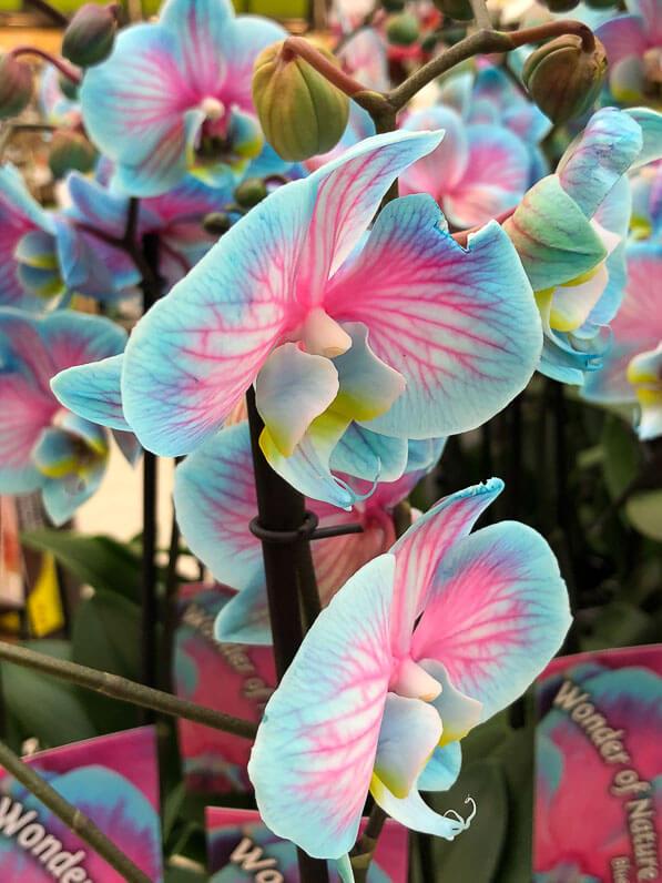 Phalaenopsis teinté, orchidée, Orchidacées, plante d'intérieur, magasin Gamm Vert d'Ormoy (Essonne)
