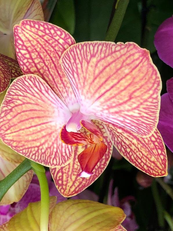 Phalaenopsis, orchidée, potée fleurie, magasin Gamm Vert d'Ormoy (Essonne)