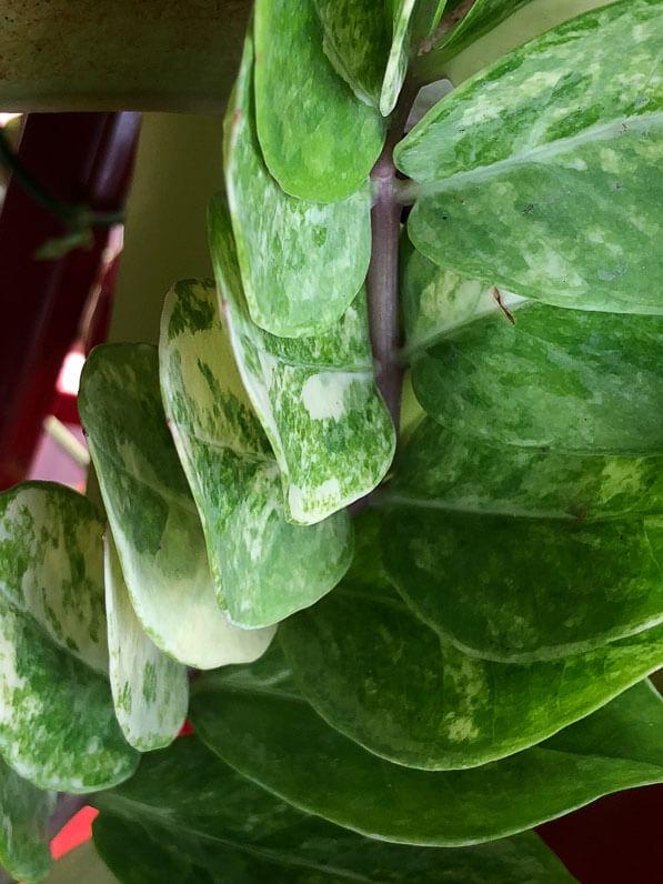 Zamioculcas zamiifolia à feuillage panaché, Aracées, plante d'intérieur, Paris 19e (75)