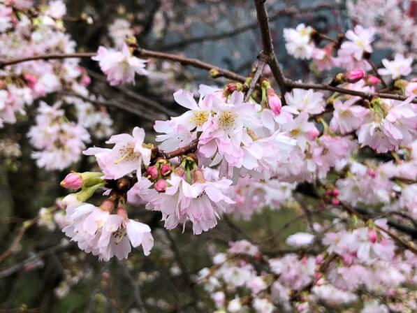 Floraison de cerisier d'hiver, Prunus x subhirtella 'Autumnalis' sur les berges du canal Saint-Denis, Paris 19e (75)