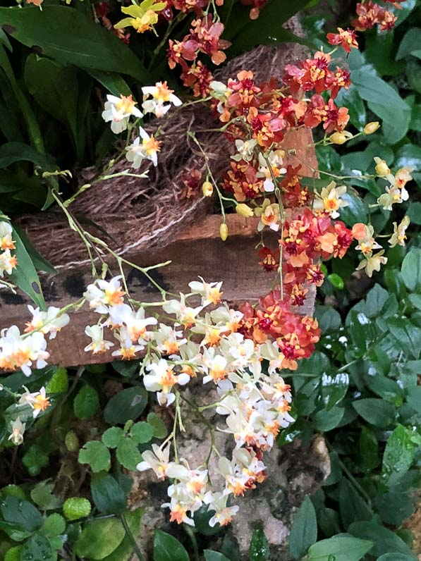 Oncidium Twinckle, orchidée, Orchidacées, exposition Mille et une orchidées, Jardin des Plantes, Paris 5e (75)