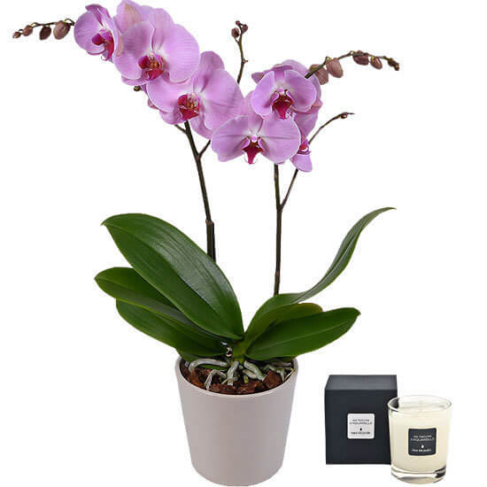 Phalaenopsis rose et bougie parfumée, Aquarelle, Saint-Valentin 2018