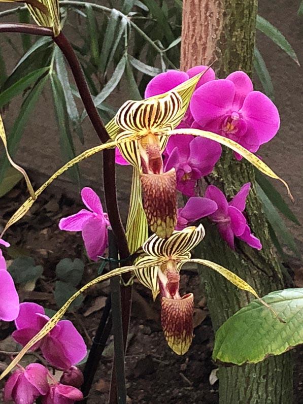 Paphiopedilum, orchidées, exposition Mille et une orchidées, Jardin des Plantes, Paris 5e (75)