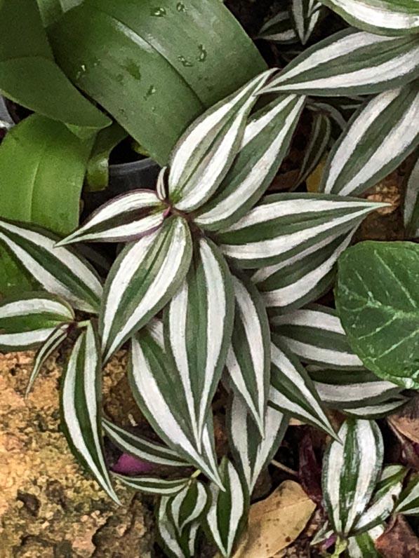Tradescantia zebrina, Commélinacées, plante d'intérieur, Jardin des Plantes, Paris 5e (75)