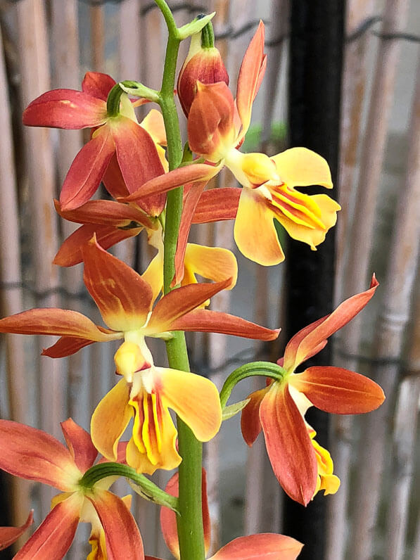 Calanthe, orchidée rustique, Orchidacées, plante vivace sur mon balcon parisien au début du printemps, Paris 19e (75)
