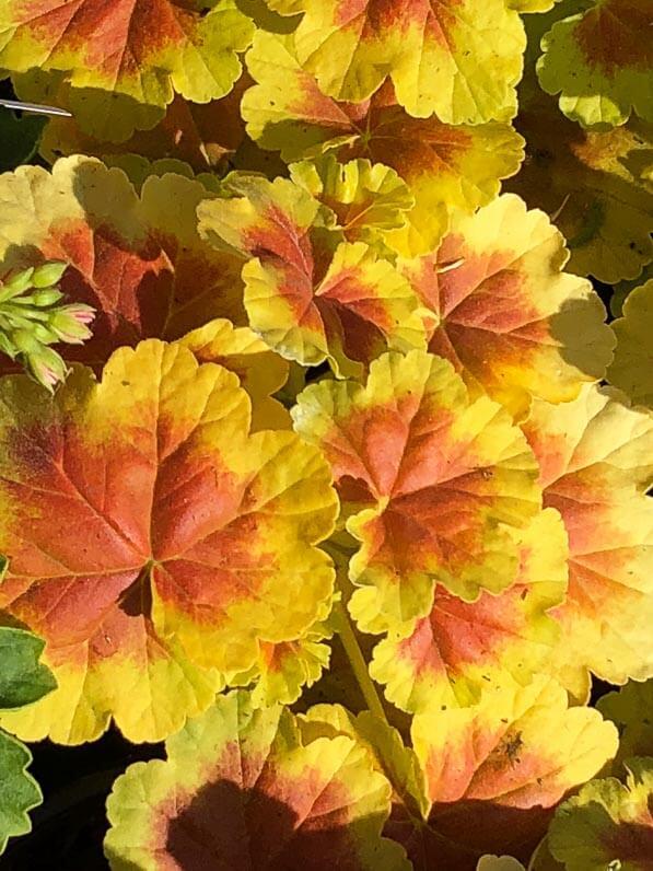 Pelargonium 'Planet Le Grounch', Pépinière Fleurs de Gascogne, Journées des Plantes, Domaine de Chantilly, Oise, Hauts-de-France