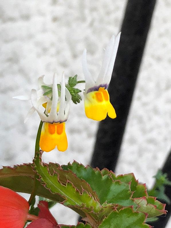 Fleurs du Nemesia cheiranthus au printemps sur mon balcon parisien, Paris 19e (75)