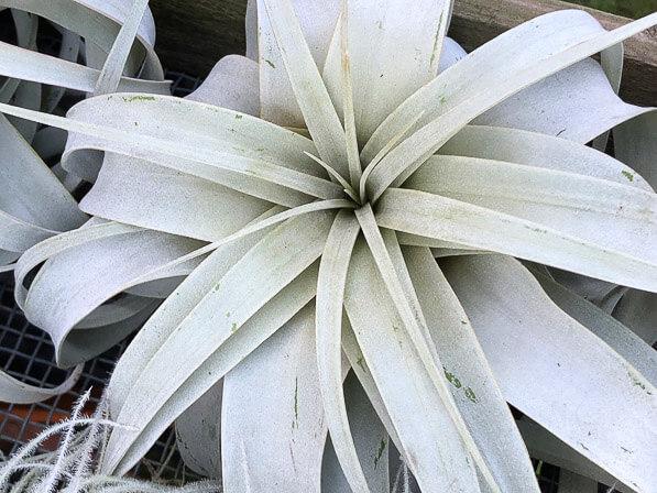 Tillandsia, Broméliacées, plantes exotiques, Journées des plantes, Beervelde, Belgique