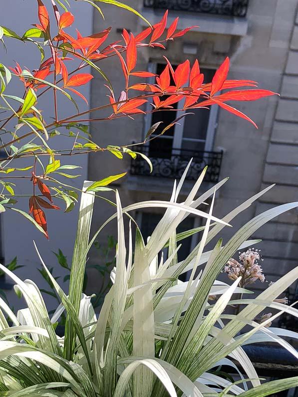 Soleil et feuillages du Nandina domestica 'Gulf Stream' et de la Liriope muscari 'Okina', en été sur mon balcon parisien, Paris 19e (75)