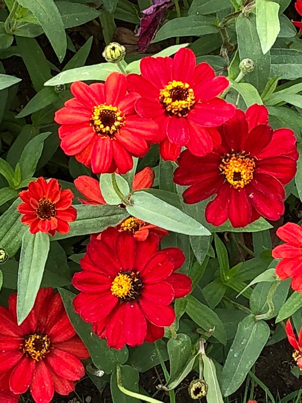 Zinnia Profusion Red en été dans le Jardin des Plantes, Paris 5e (75)