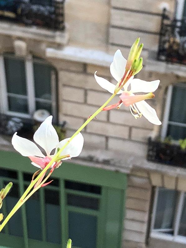 Gaura en été sur mon balcon parisien, Paris 19e (75)