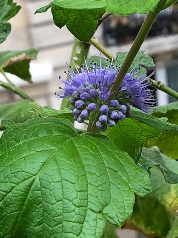 Caryopteris x clandonensis 'Good as Gold', arbuste à fleurs, en fin d'été sur mon balcon parisien, Paris 19e (75)