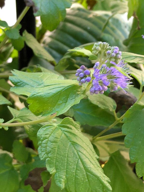 Caryopteris x clandonensis 'Good as Gold', arbuste à fleurs, en début d'automne sur mon balcon parisien, Paris 19e (75)