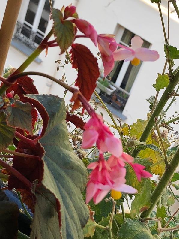 Begonia grandis à feuilles pourpres en fin d'été sur mon balcon parisien, Paris 19e (75)