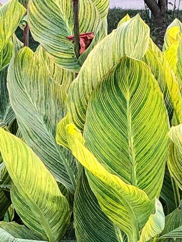 Canna 'Panach' en été dans le Jardin des Plantes, Paris 5e (75)