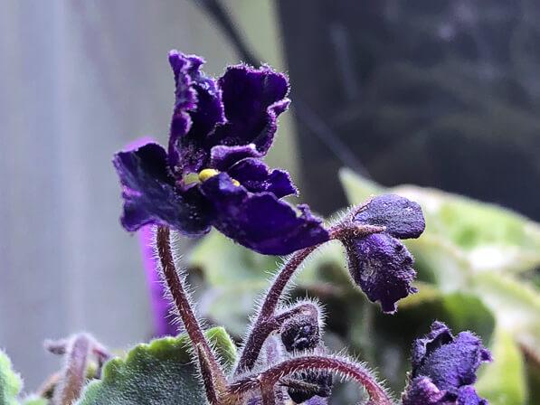 Saintpaulia 'Mac's Black Pearl', Gesnériacées, violette du Cap, plante d'intérieur, Paris 19e (75)