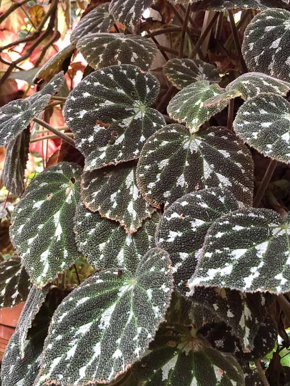 Begonia pustulata, Bégoniacées, plante d'intérieur, Conservatoire du bégonia, Rochefort (17)