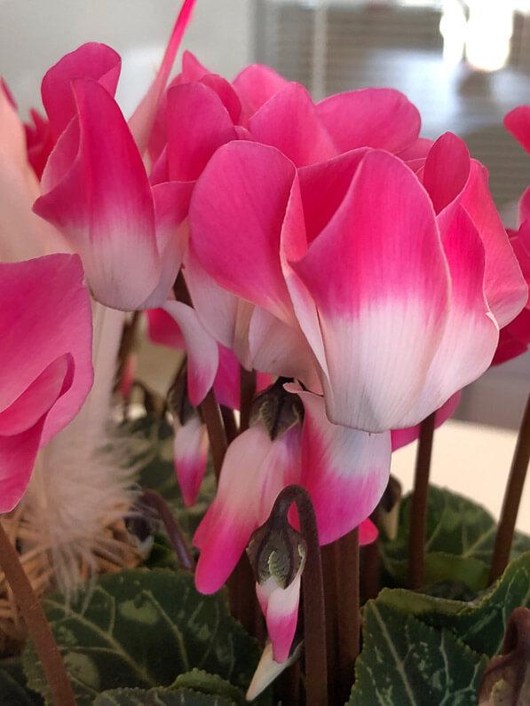 Cyclamen persicum Indiaka, Les Cyclamens Morel, plante d'intérieur,potée fleurie, Paris 19e (75)