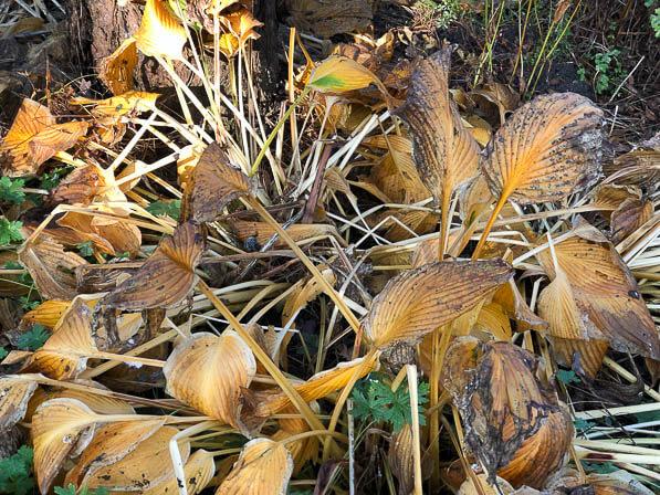 Feuillage d'hosta en automne dans le Parc Floral, Paris 12e (75)