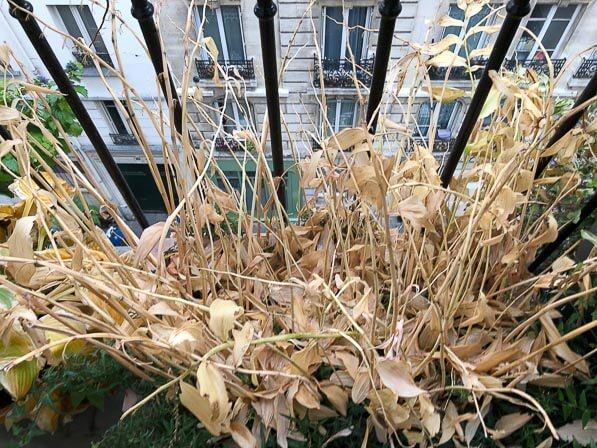 Feuilles mortes de sceau-de-Salomon, Polygonatum, en automne sur mon balcon parisien, Paris 19e (75)