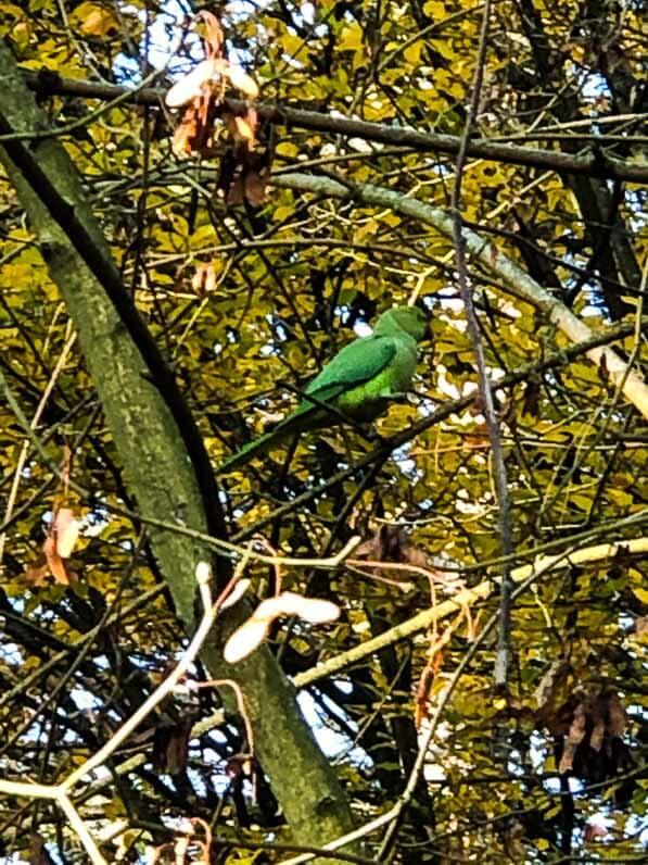 Perruche à collier dans un arbre du Parc Floral, Paris 12e (75)