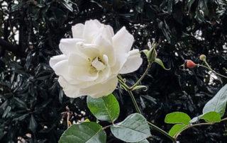 Rose blanche en hiver dans le square Maurice Gardette, Paris 11e (75)
