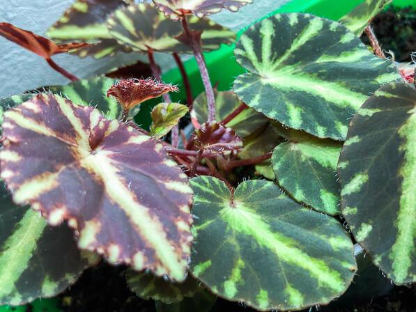 Begonia cleopatrae, Bégoniacées, plante d'intérieur,terrarium, Paris 19e (75)