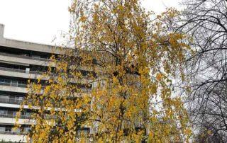 Bouleau avec des feuilles jaune d'or, en début d'hiver, Paris 16e (75)