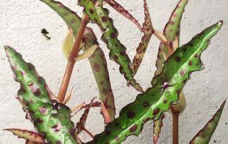 Begonia amphioxus, Bégoniacées, terrarium, plante d'intérieur, Paris 19e (75)
