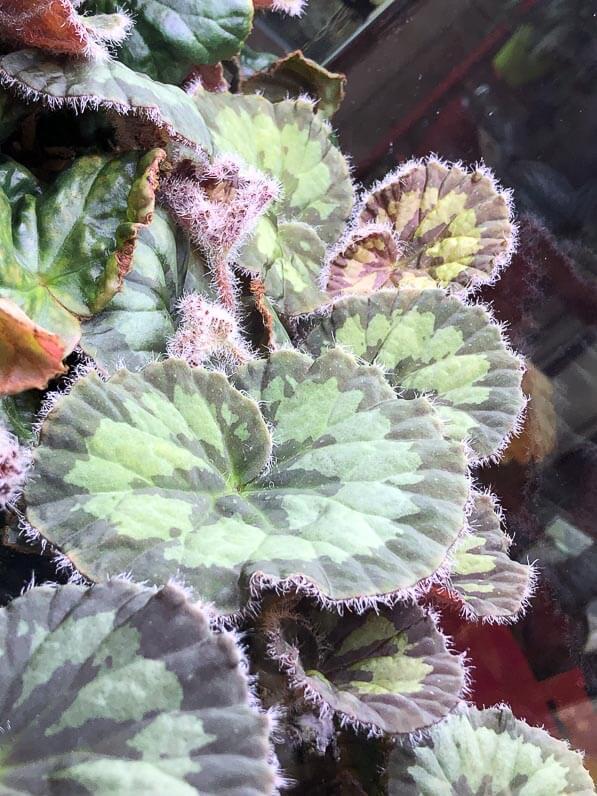 Begonia mashanica, Bégoniacées, plante d'intérieur, terrarium, Paris 19e (75)