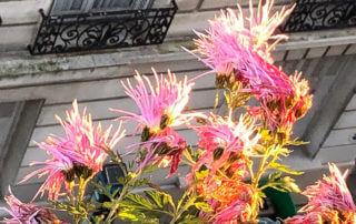 Chrysanthème 'Goshoma Haru' en hiver le jour de Noël avec le soleil sur mon balcon parisien, Paris 19e (75)