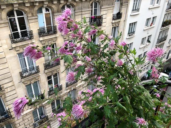 Chrysanthème 'Goshoma Haru', Chrysanthemum, en automne sur mon balcon parisien, Paris 19e (75)