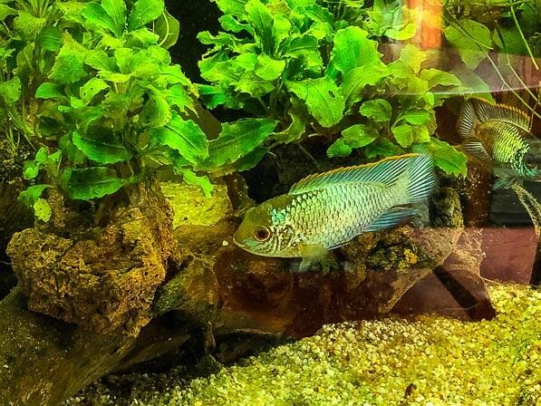 Nannacara Neon Blue, Cichlidés, aquarium Juwel 120 litres, Paris 19e (75)