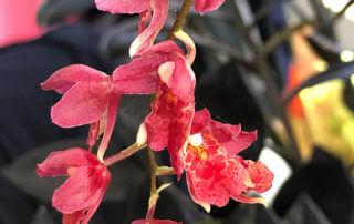 Howeara 'Red Mini', orchidée, Orchidacées, plante d'intérieur,Paris 19e (75)