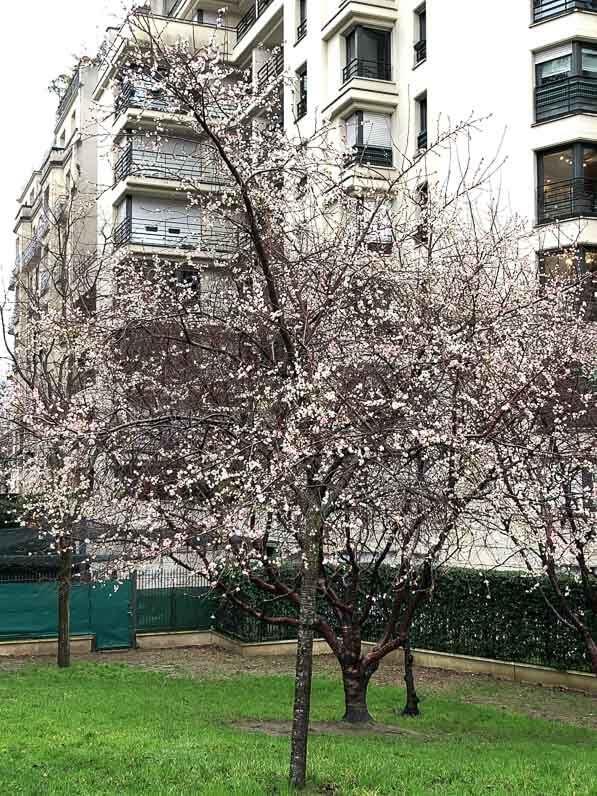 Prunus subhirtella 'Autumnalis' en début d'hiver dans le parc de Passy, Paris 16e (75)