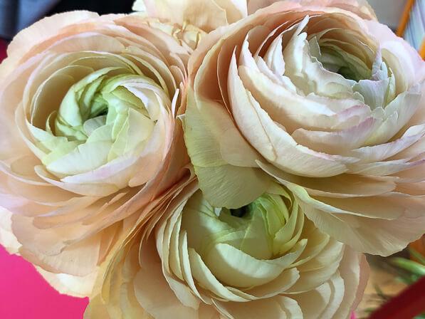 Bouquet de renoncules des fleuristes, fleurs coupées, Paris 19e (75)