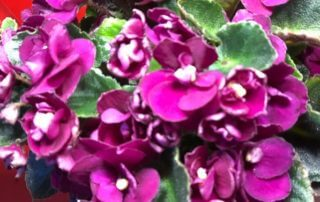 Saintpaulia 'Fireball', violette du Cap, plante d'intérieur, Gesnériacées, Paris 19e (75)