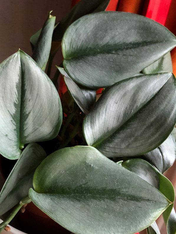 Scindapsus treubii, Aracée, plante d'intérieur, Paris 19e (75)