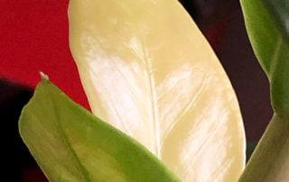 Zamioculcas zamiifolia à feuillage panaché, plante d'intérieur, Paris 19e (75)