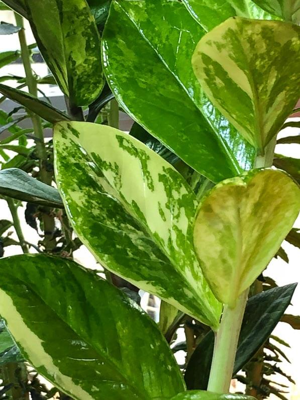 Zamioculcas zamiifolia à feuillage panaché, Aracée, plante d'intérieur, Paris 19e (75)